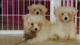 Maltese, Puppies For Sale, In, Richmond, Virginia, West, Va, Newport, County, Alexandria, 19breeders