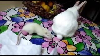 My White Rabbit and White Mice, Domestic Rabbit and Laboratory Mice, Jaipur, Rajasthan, India ......