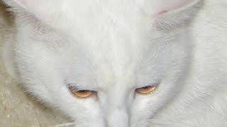 VLOG:Кот Гера/Очень смешно/Very ridiculously about a cat Hera(У нашей бабушки есть кот. Его зовут Гера. Он очень своенравный. С другой стороны, с ним очень интересно и..., 2016-02-07T10:02:24.000Z)