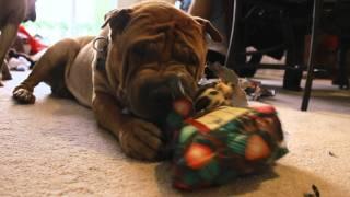 Dog Unwraps Christmas Gift