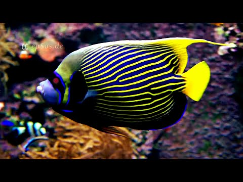 Emperor Angelfish in an Aquarium with Corals