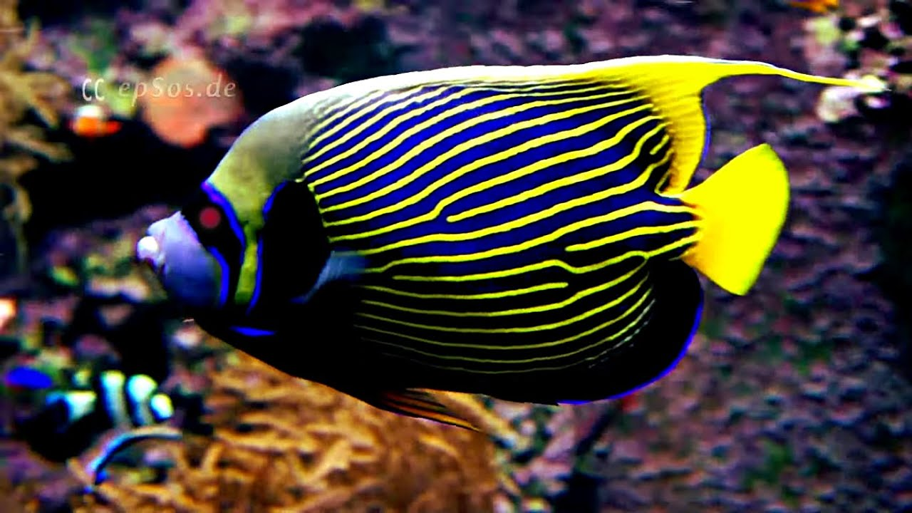 emperor angelfish changing - photo #18