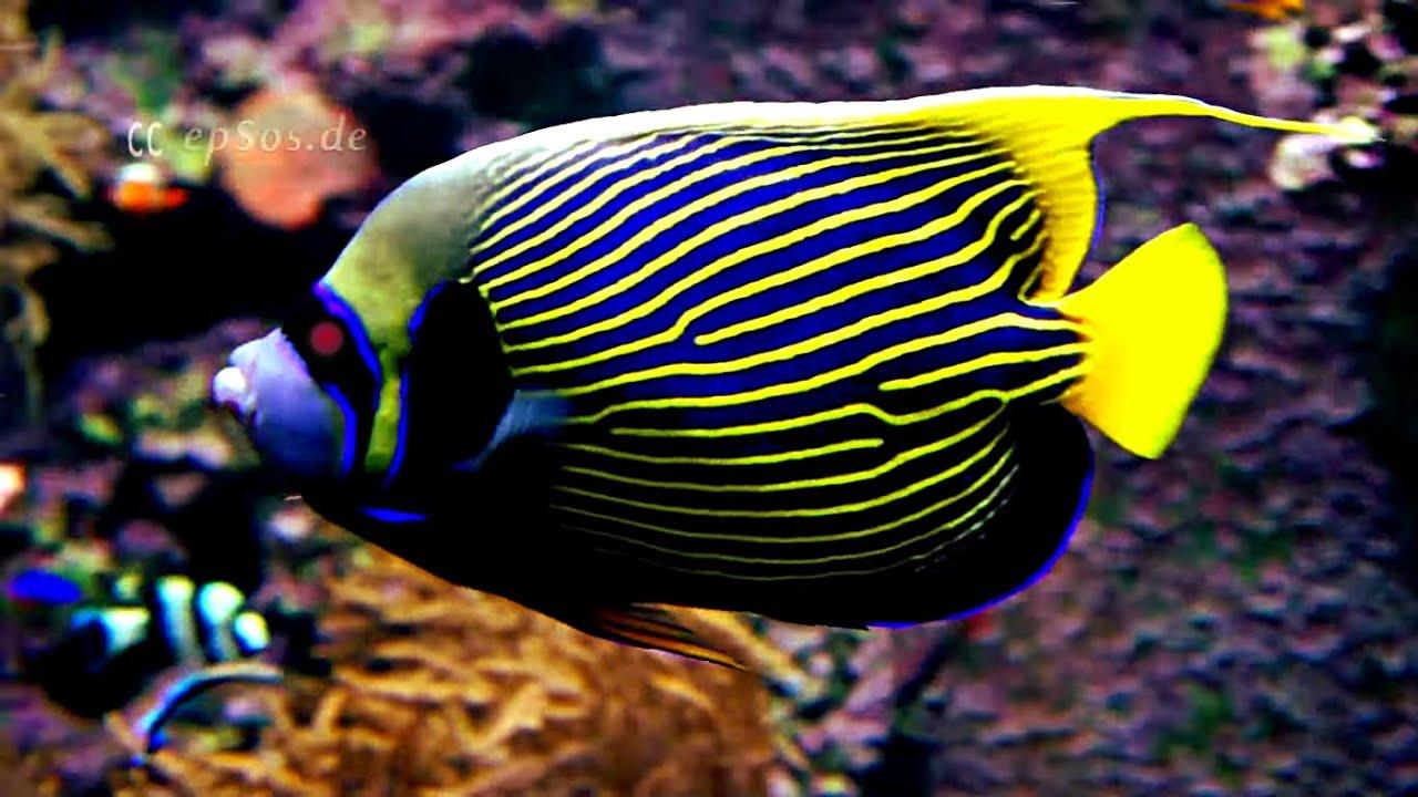 emperor angelfish in an aquarium with corals youtube