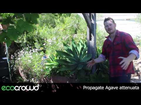 How To Propagate Agave Attenuata