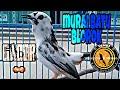 Murai Batu Blorok Hitam Putih Gacor Volume Plus  Mp3 - Mp4 Download