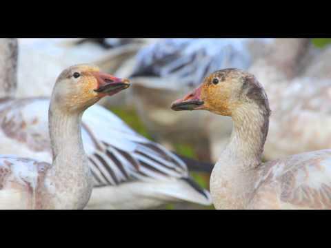 Snow goose, Washington Skagit / Fraser Delta, viewing, hunting, conservation, flocks
