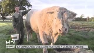 ANIMAUX   La Charolaise, une vache rustique à la robe blanche