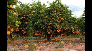 संतरे की खेती