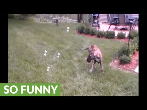 Great Dane puppy can't stop popping bubbles