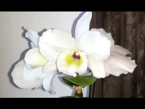 ✅ Орхидея Дендробиум Нобиле. Домашнее цветение. Уход в домашних условиях.