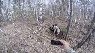Охота на барсука с русско-европейскими лайками