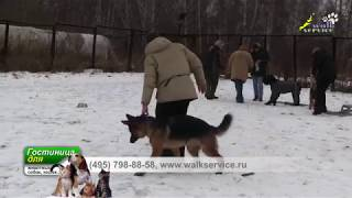Приучение к подгону, использование подгона в отработке команды место, дрессировка ОКД собак