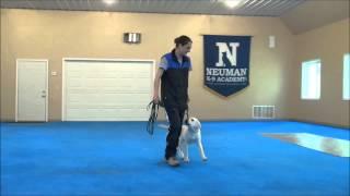 Duke (labrador Retriever) Puppy Camp Video Minneapolis