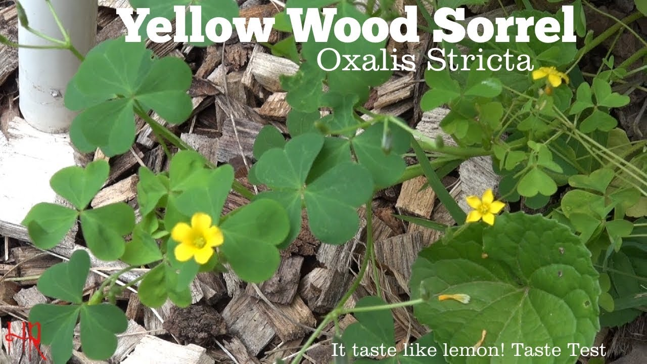 Yellow Woodsorrel Oxalis Stricta Another Plant To Know About
