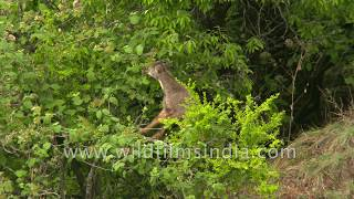 Tree climbing Goral leads lotus eating life, surrounded by daisies, spring leaf and sunshine!