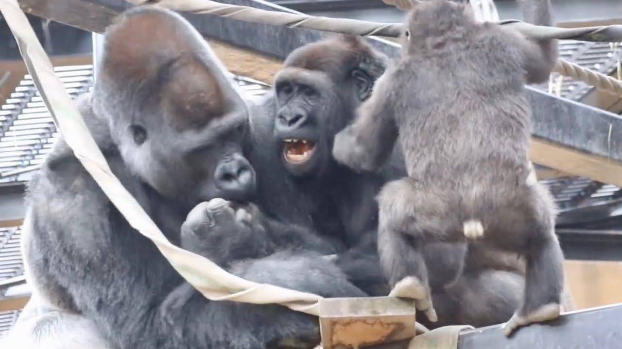 役に立ってる?父に挑む兄ゴリラを助けるキンタロウ⭐️ゴリラGorilla【京都市動物園】Kintaro helps his brother who challenges thier father.