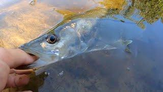 Zapętlaj Snook Fishing with LIVE Mullet [Kayak Creek Fishing] | Brent Schirmer
