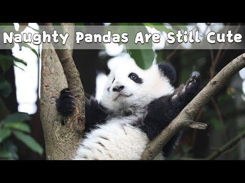 Naughty Pandas Are Still Cute | iPanda
