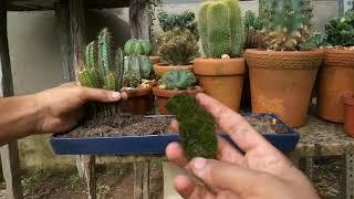 Como Plantar Cactos Em vaso Baixo ou pedras