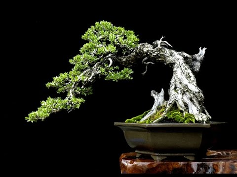 Pemphis acidula bonsai (Philippine Bantigue)