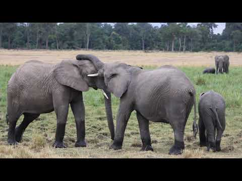 African Elephants On The Masai Mara