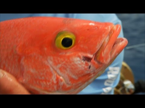 YELLOW EYE snapper fishing deep dropping in Bimini Bahamas