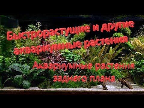 Аквариумные растения заднего плана