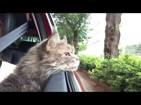 Maine Coon Cat  which likes drives. 1    猫ドライブが好き1 光太