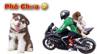 Dương KC | Thử Cho Chó Alaska Baby Đi Xe Phân Khối Lớn | Thành Viên Mới !
