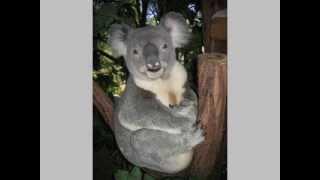 Pet Photo Fun KOALA BEAR HAPPY BIRTHDAY SONG