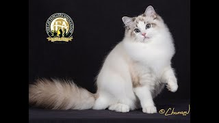 The Ragdoll: Presented by the CFA Judging Program