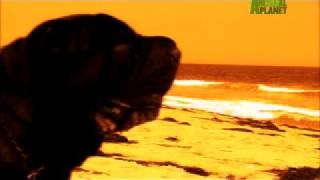 Dogs 101 - Shar-pei