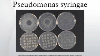 Pseudomonas syringae