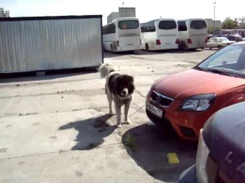 Купить собак и щенков из питомника и частные объявления о