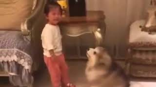 Cute Fluffy Alaskan Malamute Puppy Cries Along With The Kid