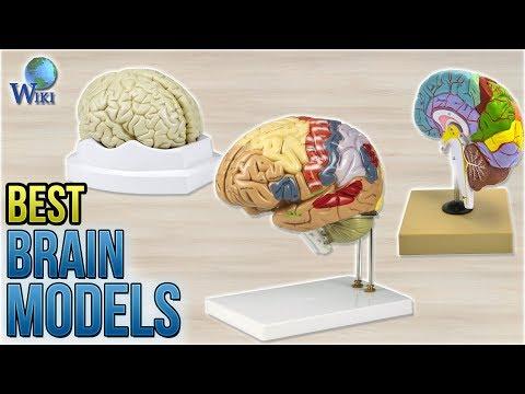 8 Best Brain Models 2018