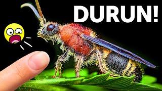 Bu Böceği Görürseniz, İğnesine Karşı Dikkatli Olun!