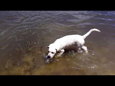 Copy of Labrador Puppies Swim With Their Mother And Grandmother