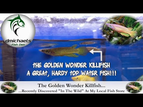 The Golden Wonder Killifish...Recently Discovered