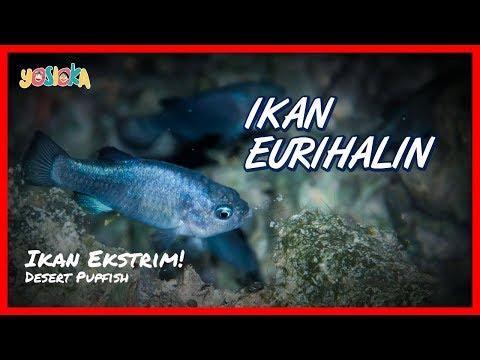 Ikan Eurihalin Ikan Yang Bisa Hidup Di Air Tawar Dan Air Laut Youtube