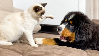 Bernese Mountain Dog Puppy Plays with Kitten