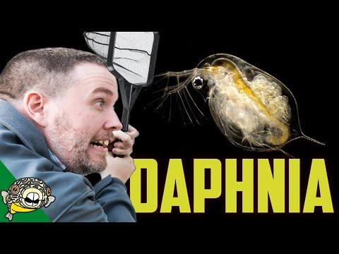 Daphnia Culture & Japanese Rice Fish Fry