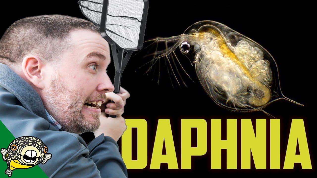daphnia-culture-japanese-rice-fish-fry