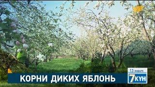 Корни диких яблонь