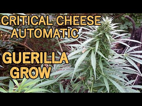 Critical Cheese Automatic Guerrilla Grow | 91 days from seed to harvest