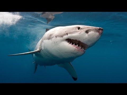 Weißer Hai Doku