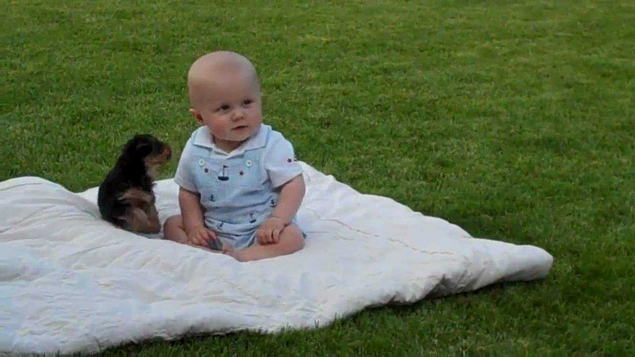 Baby Greifen Yorkie Puppy Attack My Baby Boy. - Youtube