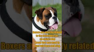 Top 10 Facts About Boxer Dog| Boxer Dog Video| Interesting Facts About Guard Dogs #Shorts
