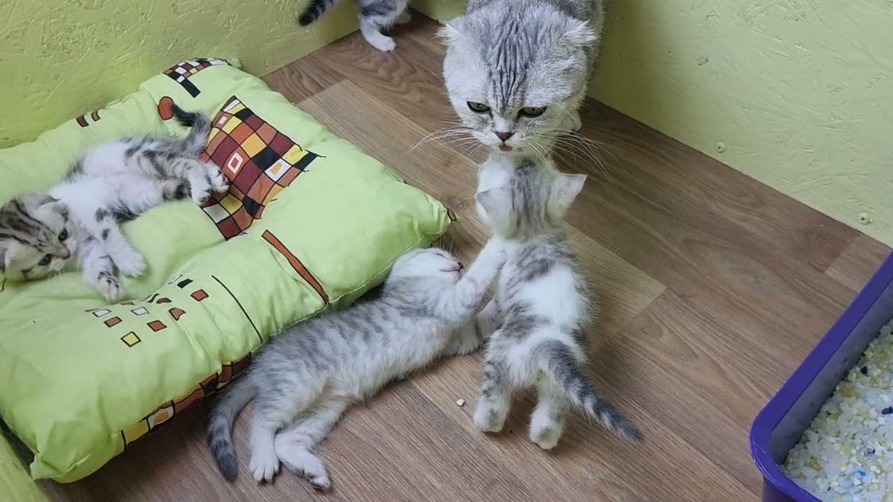 Мама кошка зовет котят кушать Разговаривает с мяукающими котятами а потом бросает кормить 😱