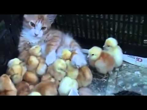Cat adopt abandon chicks
